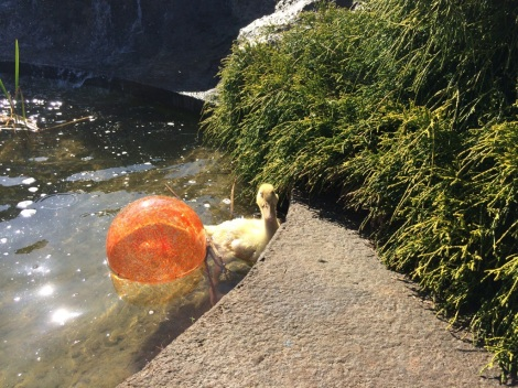 The duckling swimming