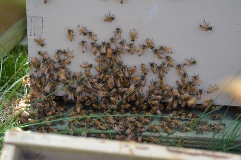 Italian Bees have a beautiful Orange Hue!